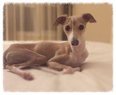 Dobby, Italian Greyhound puppy, 1 year old, Iggy, IG, fawn, male, our pal