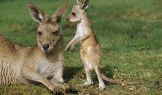 La increíble vida de un canguro