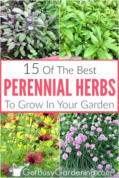 Growing perennial herbs in your garden, pots or containers is fun and beneficial! You'll have fresh herbs each year for teas, and cooking all of your recipes. Many are drought tolerant plants that flower, have medicinal benefits, and some are even go Best Perennials, Shade Perennials, Flowers Perennials, Garden Shrubs, Herb Garden, Garden Plants, Mint Garden, Herb Plants, Spice Garden