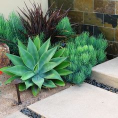 Agave attenuata, Senecio vitalis and Phormium Dark Delight