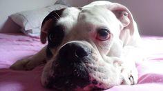 [Cão] Boxer Alemão Branco [Dog] SP Photo by Carlos Campos #016