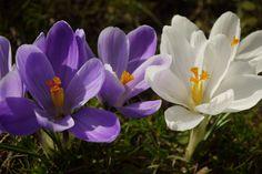 Krokusblüte: Die perfekte Farbkombination: Lila-Weiß...