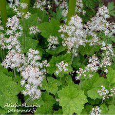 Rönsytiarella Spetsmössa Tiarella cordifolia