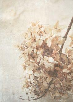 °o ĿᵒᵛᵉĿᵉʸ Ŀᶤᶰᵉᶰ & Ṗᶤᶰᵉ Ƈᵒᶰᵉ Ƈᵒᵗᵗᵃᵍᵉo° Shades Of Beige, Floral Photography, Earth Tones, Dried Flowers, Vintage Inspired, Vintage Style, Hydrangea, Delicate, Photos