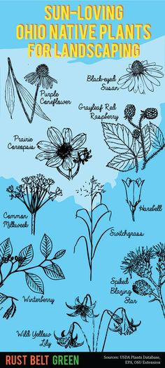 Infographic: Ohio Native Plants for Landscaping in the Sun on http://rustbeltgreen.com/infographic-ohio-native-plants-for-landscaping-in-the-sun/