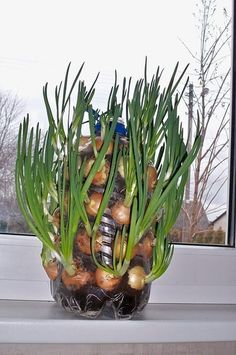 onions planted in a repurposed plastic jug