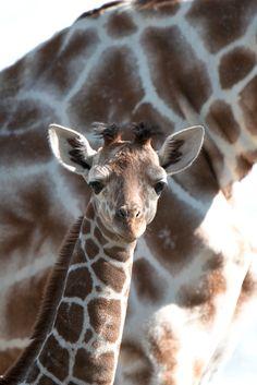 Giraffenbaby   hansgemacht