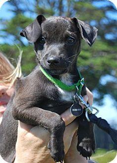 Boo - Patterdale Terrier (Fell Terrier)/Jack Russell Terrier Mix.