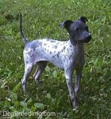 Image result for American Hairless Terrier mix