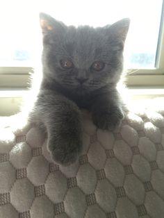손을 내미는 마리. 아가라 그런지 손도 조그만합니다.  #고양이 #브리티쉬숏헤어 #브리티쉬블루 #cat #cats #catlover #ilovemycat #britishblue #britishshorthair