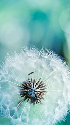 Dandelion Wallpaper, Flower Phone Wallpaper, Abstract Canvas, Oil Painting On Canvas, Flowers Background, Nature Photography Flowers, Landscape Photography, Photography Ideas, Beautiful Flowers Wallpapers