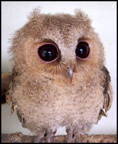 baby owl, and also what i look like after several days of little sleep lol