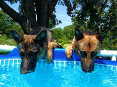 GSDs.....think it's warm enough??