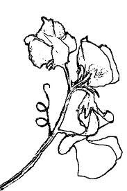 sweet pea tattoo designs - Google Search