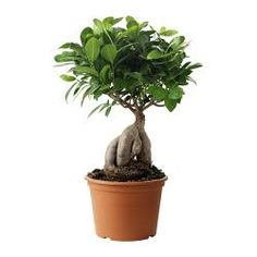FICUS MICROCARPA GINSENG plante en pot Diamètre du pot: 17 cm Hauteur de la plante: 45 cm