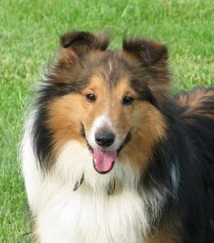 Meet Calvin, a Petfinder adoptable Shetland Sheepdog Sheltie Dog | Cincinnati, OH | Calvin was surrendered to us on 01/30/10 by his breeder when they no longer wanted to breed him....