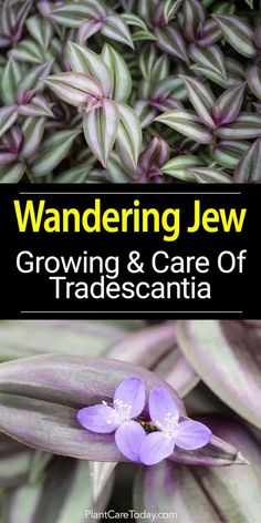 Growing Wandering Jew Plants: How To Care For Tradescantia - House Plants - ideas of House Plants - Wandering Jew plants Tradescantia pallid an attractive vining plant with distinctive leaves bearing stripes of purple white green and silver [LEARN MORE] Growing Flowers, Growing Plants, Planting Flowers, Growing Gardens, Easy Care Plants, Plant Care, Landscaping Plants, Garden Plants, Farmhouse Landscaping