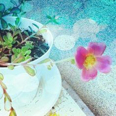 Pink Portulaca in Flower