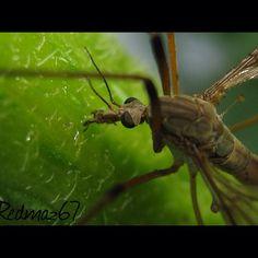 Crane fly (daddy long legs) Close up
