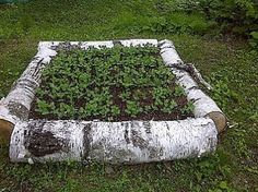 RECYCLED birch logs make an AWESOME raised bed for snow peas & sugar peas! Great idea!