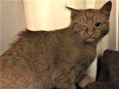 SATURN – A1099396 MALE, ORG TABBY, DOMESTIC SH MIX,4 mos --  Came in with: FREDERICK – A1099395 NYCACC