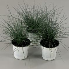 Elijah Blue Fescue Grass - Icy Blue Ornamental Grass Adds Gorgeous Color to Any - The Home Depot Dwarf Mondo Grass, Black Mondo Grass, Fescue Grass, Blue Fescue, Drought Tolerant Grass, Tall Ornamental Grasses, Lavender Blossoms, Purple Plants, Grass Seed