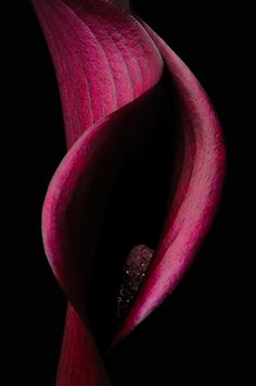Blood Red Calla Lily, by H. Ford Pierson