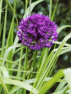 The perennial Allium works well with: • Bigleaf aster (Aster macrophyllus) • Star gentian (Gentiana cruciata) • Sage (Salvia nemorosa 'Caradonna')