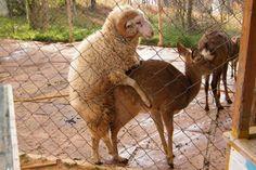 Sheep-Deer Love!