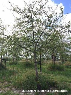 Oude hoogstam appelboom/ oude fruitboom uit het assortiment van Schouten Bomen & Loonbedrijf Garden, Plants, Garten, Lawn And Garden, Gardens, Plant, Gardening, Outdoor, Yard