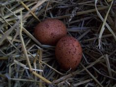 Line Welsummers are a breed from Welsum Holland, They lay a large, dark, terracotta-brown egg.  Welsummers are a very calm, friendly bird and a favorite on the farm.