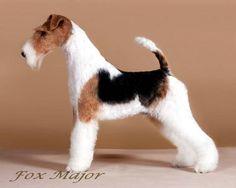 Perro Fox Terrier, Wire Fox Terrier