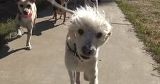The Hope For Paws rescue team is in for a dangerous rescue. A badly injured stray poodle is at the side of the road and they did not expect what happened!