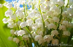 beautiful lilly of the valley