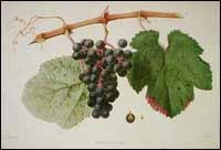 Malbec (Auxerrois ou Côt rouge Grapes)  Malbec probably originated in southwestern France before expanding to the Bordeaux region in the 1780s and then to Touraine in northwestern France. Although it is losing popularity in these regions, Malbec is widely grown in Argentina, where it is the most popular red grape variety, in Chile, in Australia, and in the United States.