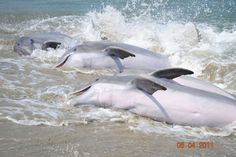 "This unique practice of the dolphins ""stranding"" fish to feed is always exciting to observe at Seabrook Island, SC. Seabrook Island, Sullivans Island, Isle Of Palms, Folly Beach, Little Island, Search And Rescue, Oh The Places You'll Go, Sea Creatures, Dream Vacations"