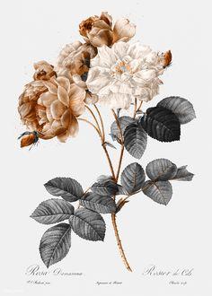 how do html color codes work Illustration Inspiration, Rose Illustration, Antique Illustration, Vintage Illustrations, Flower Illustrations, Peach Background, Pattern Background, Damask Rose, Floral Banners