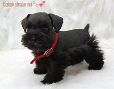 Looks like Blitz! What a Beauty Source by The post What a Beauty appeared first on Kuba Dog Life. Black Schnauzer, Miniature Schnauzer Puppies, Schnauzer Puppy, Fox Terriers, Cute Funny Animals, Cute Baby Animals, Schnauzer Grooming, Cute Dogs And Puppies, Doggies