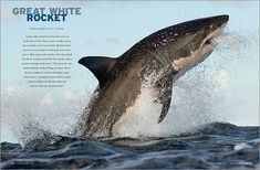 Great White Sharks Jumping - Bing Images