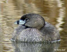 Pied-billed Grebe (Podilymbus podiceps)  is rarely seen in flight.  When disturbed or threatened, it prefers to slowly sink & swim away underwater, or move away with just it's head above water. Only mature adults in breeding plumage show the dark ring on their bill.