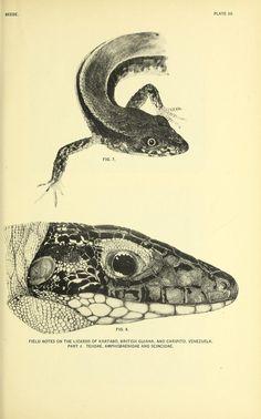 Field notes on the lizards of Kartabo, British Guiana, and Caripito, Venezuela. Part 3. Teiidae, Amphisbaenidae and Scincidae