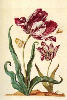Tulip Diana, Tulip Veue (468x700, 403Kb)