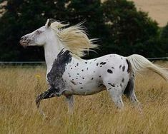 Araloosa (Arab x appaloosa) stallion. I am no expert, but this looks like a leopard Appaloosa with a bloody shoulder. Most Beautiful Animals, Beautiful Horses, Appaloosa Horses, Leopard Appaloosa, Breyer Horses, Horse Markings, Majestic Horse, All The Pretty Horses, Mundo Animal