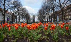Wstawaj, wstawaj tulipanie, kończ zimowe sny! #gliwice #wiosna #springtime