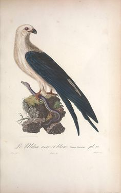 t.1 [c.1] (1807) - Histoire naturelle des oiseaux de l'Amérique Septentrionale : - Biodiversity Heritage Library