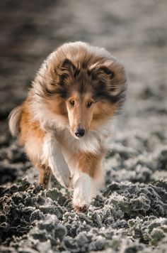 Rough Collie - lovely active shot