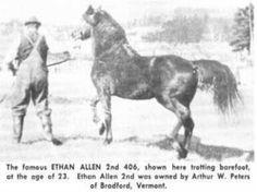 Ethan Allen Son of Morgan (Peter's Beautiful Horses, Pretty Horses, Beautiful Babies, Horse Coat Colors, Pony Breeds, Soul Friend, Horse Facts, Morgan Horse, All About Horses