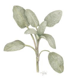 Sage is a wonderful herb to draw and a great introduction to learning about layering in colored pencil. Follow along with me as I demonstrate…