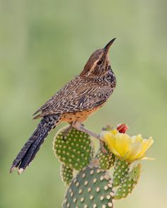 The Cactus Wren - Campylorhynchus brunneicapillus, is a species of wren that is native to the southwestern United States to central Mexico. AZ state bird