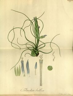Tillandsia bulbosa https://www.flickr.com/photos/biodivlibrary/9144885110/in/album-72157634339108317/